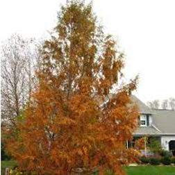Bald-Cypress-Poul's-Landscaping-&-Nursery