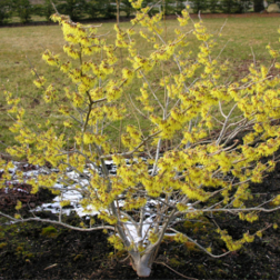 Common Witch-Hazel-Poul's-Landscaping-&-Nursery