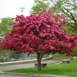 Flowering-Crabapple-Poul's-Landscaping-&-Nursery