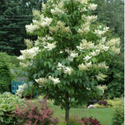 Japanese-Tree-Lilac-Poul's-Landscaping-&-Nursery