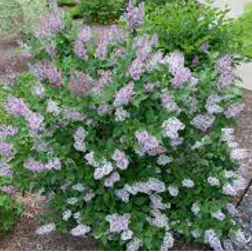 Miss-Kim-Lilac-Poul's-Landscaping-&-Nursery