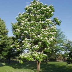 NorthernCatalpa-Poul's-Landscaping-&-Nursery