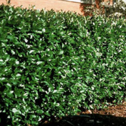 Peking-Cotoneaster-Poul's-Landscaping-&-Nursery