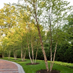 RiverBirch-Poul's-Landscaping-&-Nursery