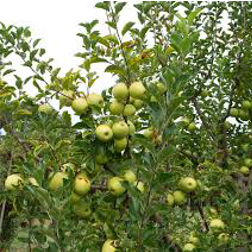 Yellow-Delicious-Apple-Poul's-Landscaping-&-Nursery